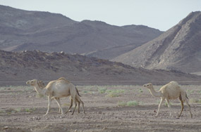 Camels in Sinai